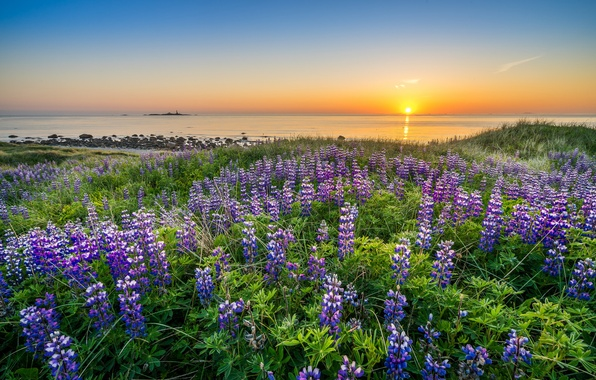 Picture sea, sunset, flowers, coast, Norway, Norway, North sea, North Sea, Rogaland, lupins, Rogaland
