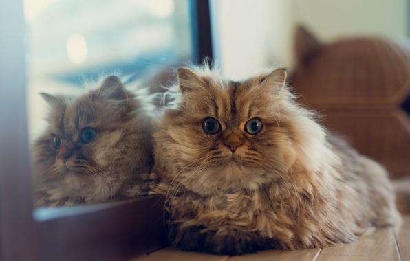 Picture cat, house, reflection, mirror, lying, Daisy, Ben Torode, Benjamin Torode