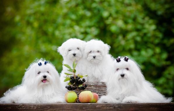 Picture dogs, berries, apples, puppies, Quartet