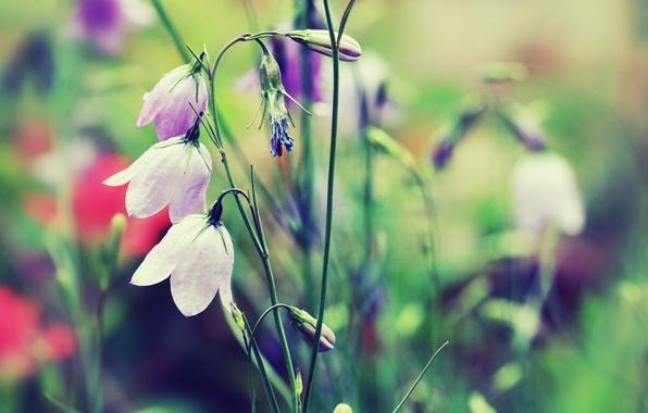Picture grass, color, macro, flowers, nature, color, plants, blur, bells