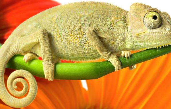 Picture orange, red, green, chameleon, color, branch