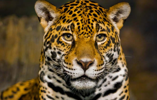 Picture face, predator, Jaguar, bokeh, closeup