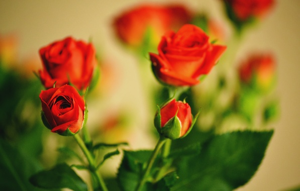 Picture leaves, flowers, roses, bouquet, Bud