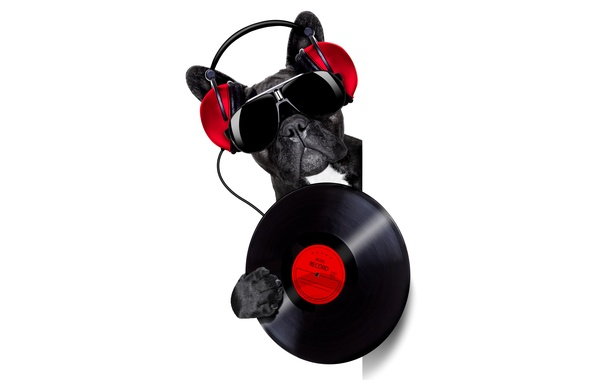 Picture face, music, humor, headphones, glasses, white background, bulldog, vinyl, record, DJ, black, from the corner, ...