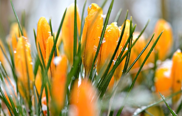 Picture snow, yellow, crocuses, water drops