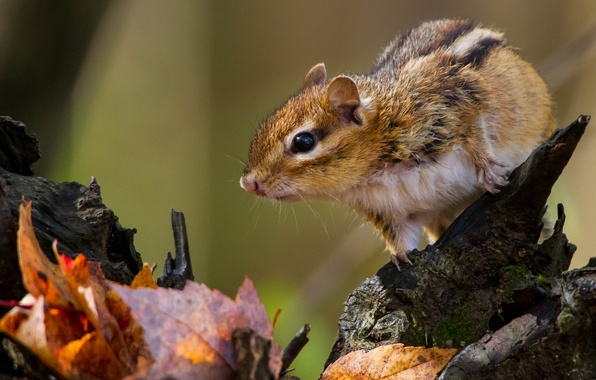 Picture leaves, Chipmunk, snag, rodent