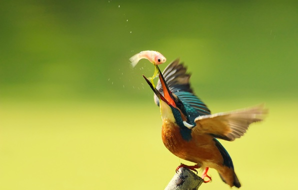 Picture drops, bird, branch, kingfisher, alcedo atthis, common Kingfisher, catch, By Boris