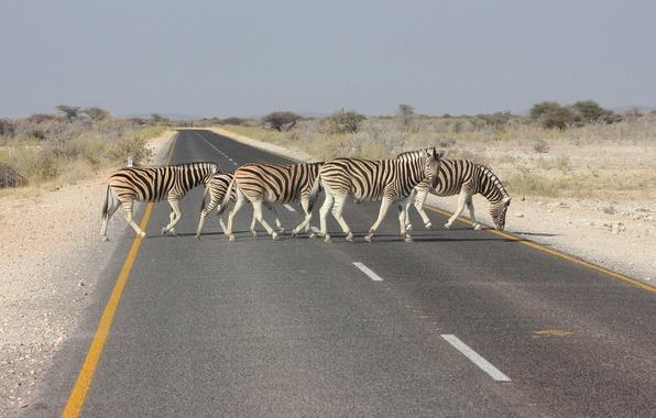 Picture road, landscape, Zebra, Africa