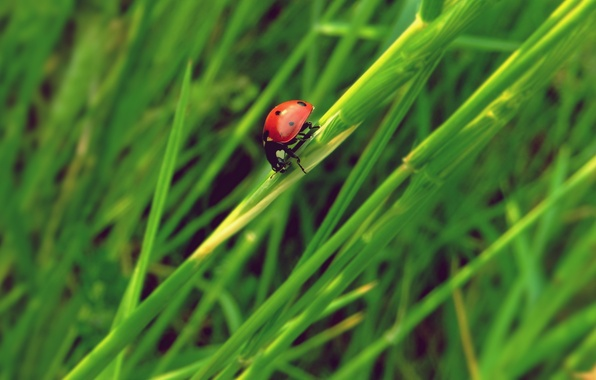 Picture grass, ladybug, insect