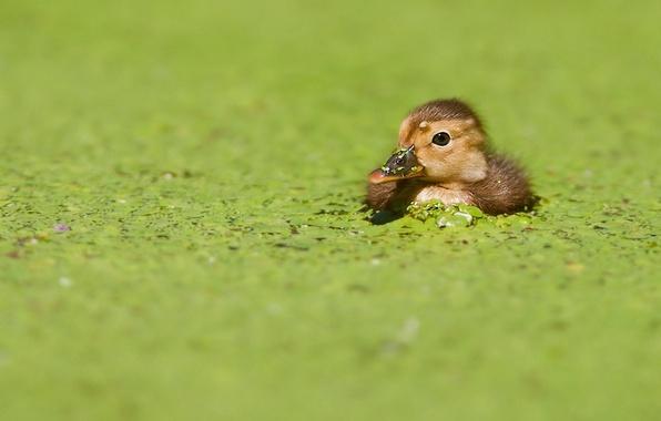 Picture greens, bird, duck