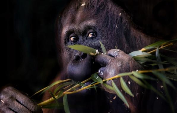 Picture branch, monkey, orangutan