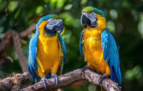 Picture birds, parrots, a couple, Ara, Blue-and-yellow macaw