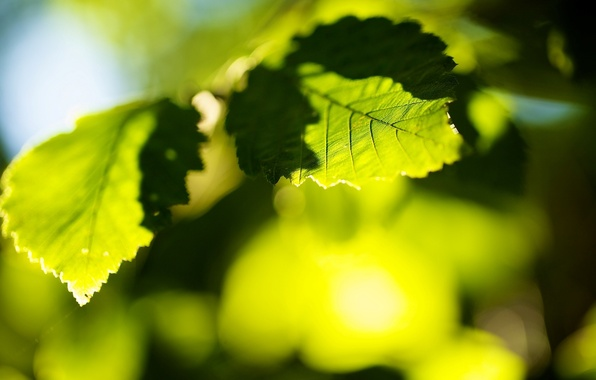 Picture leaves, the sun, macro, trees, green, background, tree, green, widescreen, Wallpaper, blur, leaf, wallpaper, leaf, …