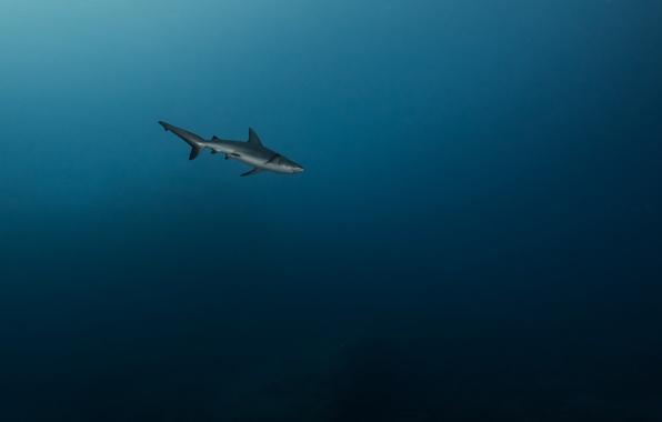 Picture sea, predator, shark, depth, under water