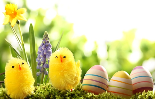 Picture grass, flowers, nature, holiday, chickens, eggs, spring, Easter, Narcissus, Easter, hyacinth