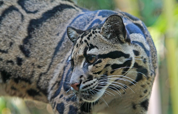 Picture look, nature, animal, predator, color, clouded leopard