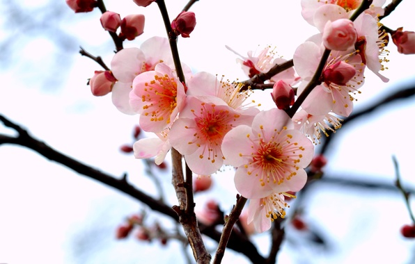 Picture macro, flowers, branches, tree, branch, petals, pink, buds, Drain