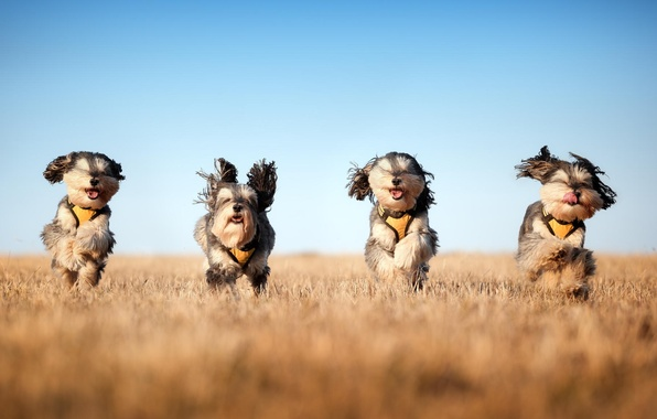 Picture field, dogs, running, The mushketeers