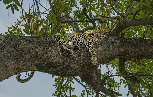 Picture tree, stay, relax, leopard, on the tree