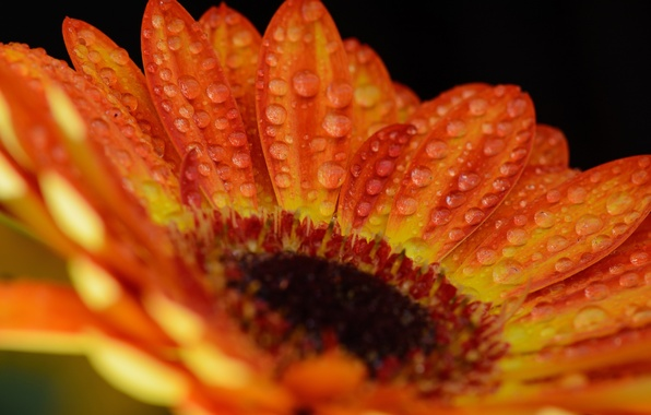 Picture flower, drops, macro, orange, color, gerbera