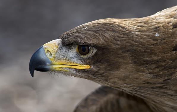 Picture macro, bird, eagle, head, feathers, beak, profile, Orlan