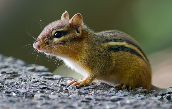 Picture muzzle, Chipmunk, rodent