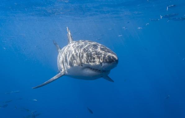 Picture sea, fish, shark, krasava, White shark