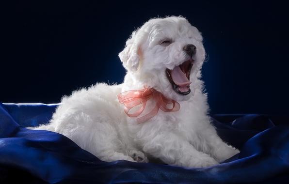 Picture language, white, puppy, bow, yawns, Bichon Frise