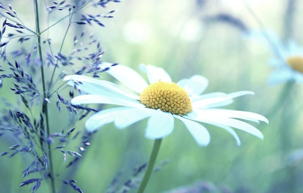 Picture white, flowers, yellow, green, background, widescreen, Wallpaper, plant, chamomile, Daisy, wallpaper, flowers, widescreen, background, full ...