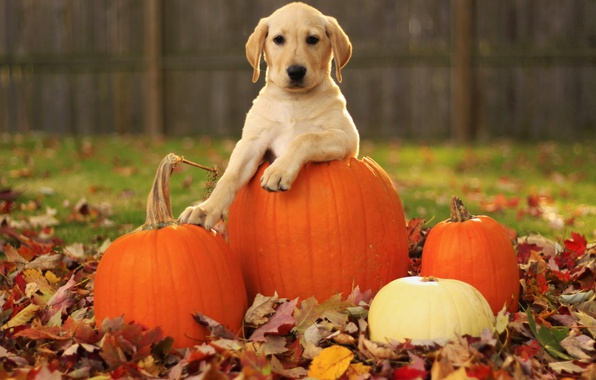 Picture autumn, leaves, dog, pumpkin, puppy, Labrador Retriever, pupkin, labrador retriever