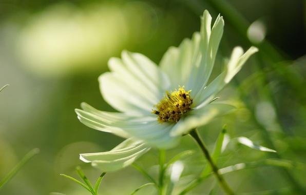 Picture white, flower, macro, kosmeya