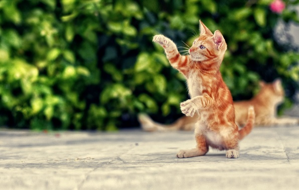Picture cat, cats, paws, red, kitty, stand, Kote