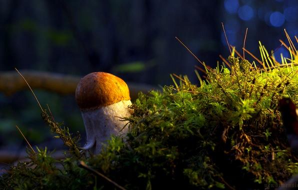 Picture mushroom, moss, White
