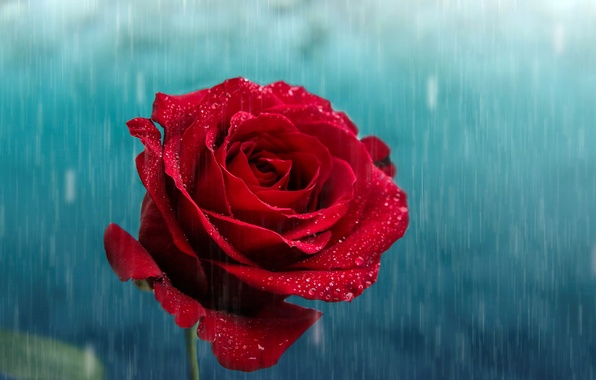 Picture flower, drops, rain, rose, petals, Bud, red