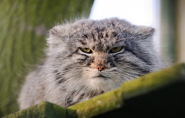 Picture face, wild cat, manul, the Pallas cat