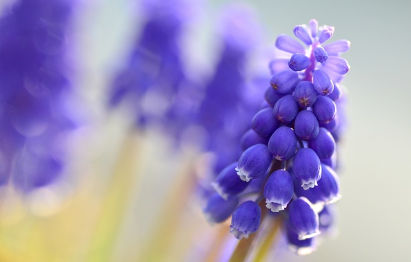 Picture macro, flowers, blur, blue, Muscari