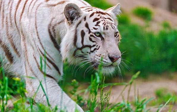 Picture white, face, tiger, predator, sneaks, waite tiger