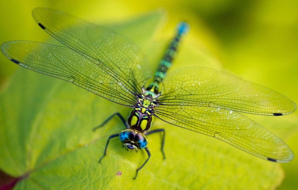 Picture green, legs, eyes, wings, leaves, macro, insect, head, vegetation, Dragonfly