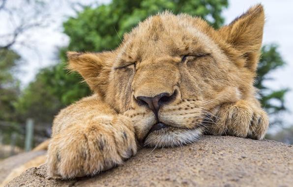 Picture cat, stay, stone, sleep, Leo, sleeping, cub, lion, ©Tambako The Jaguar
