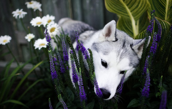 Picture flowers, dog, garden, nose, puppy, flowerbed, husky, sniffing, Siberian husky