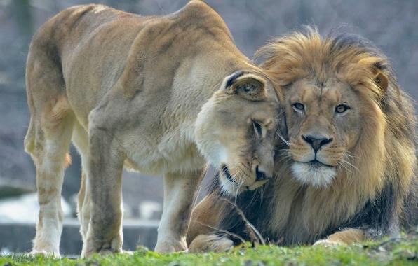 Picture love, Leo, lions, lioness