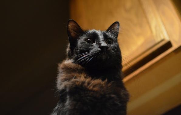 Picture cat, look, background, black, Koshak, Tomcat