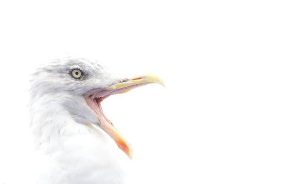 Picture bird, eye, beak, herring gull