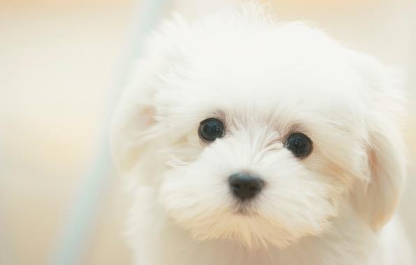 Picture Dog, puppy, white, white, sad, puppy, dog, cute, cute, sad, dreamy, dreamy
