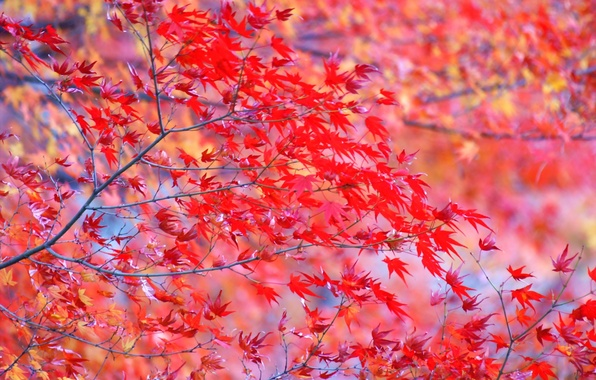 Picture leaves, branches, tree, bright, Autumn, red