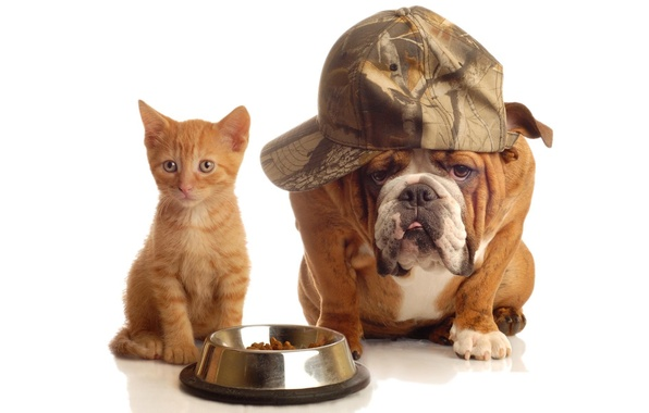 Picture cat, dog, red, bulldog, iron, cap, bowl, food