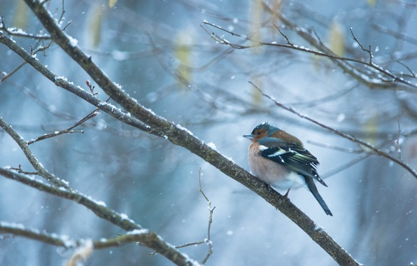 Picture winter, snow, branches, bird, snowfall, Chaffinch