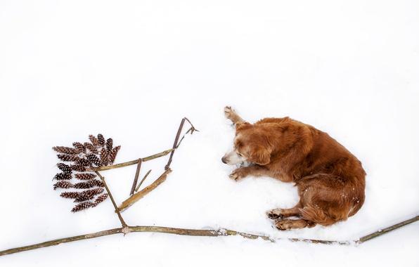 Picture winter, snow, branches, nature, stick, dog, lies, Golden, bumps, Retriever