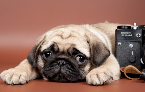 Picture look, the camera, pug, puppy
