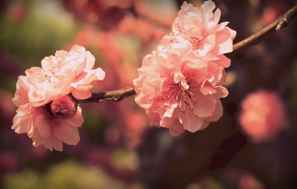 Picture color, flowers, branch, spring, petals, Sakura, pink, flowering